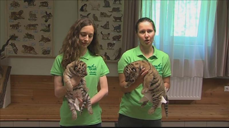 Tigrisek születtek