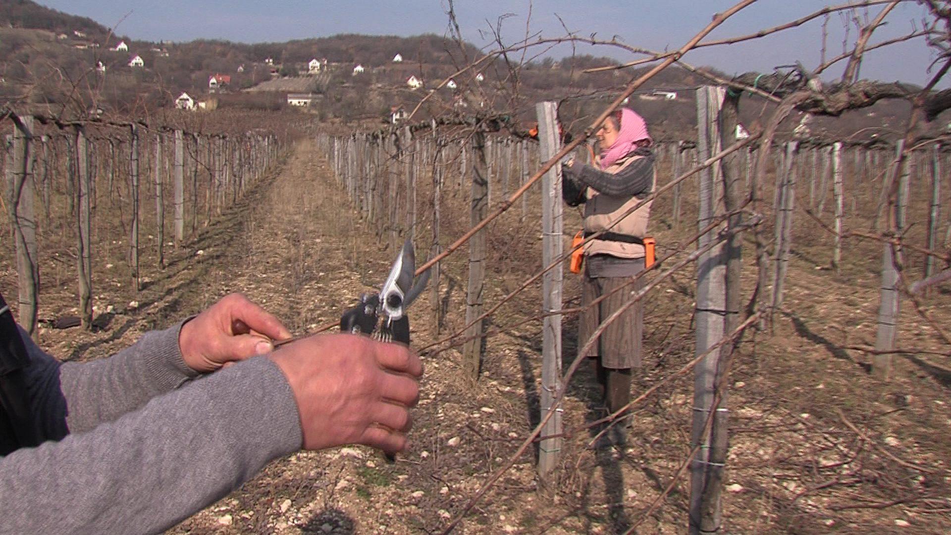 Metszik a szőlőket