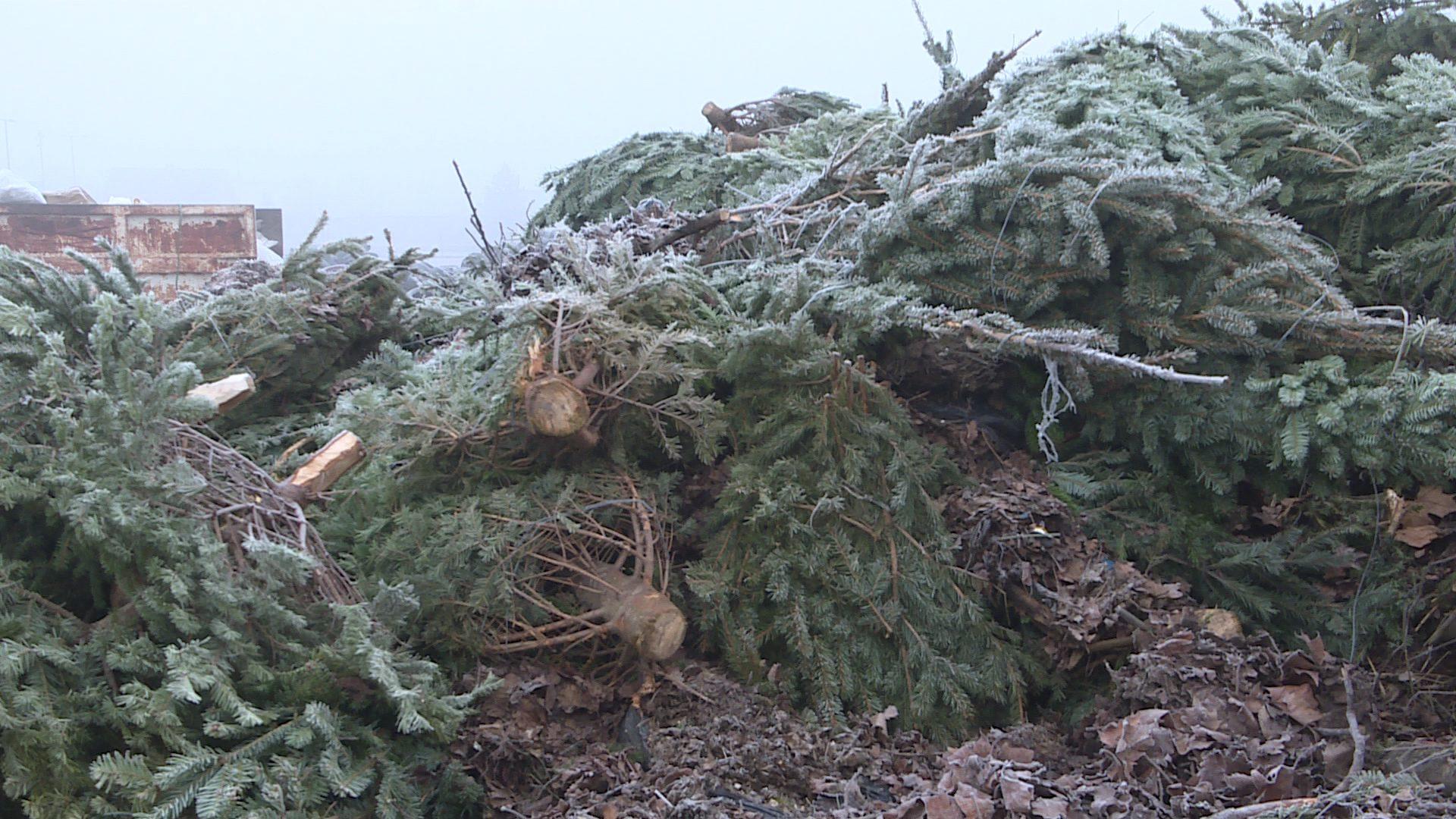 Vízkereszttől gyűjtik a karácsonyfákat